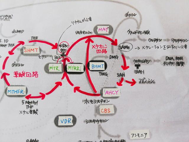 メチレーション葉酸回路